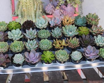 """60 Gorgeous ROSETTE Succulents in their 2.5"""" round plastic containers Ideal for Wedding FAVORS party gifts"""