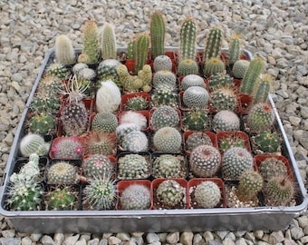 """Cactus in 2"""" container - Weddings, bridal shower, baby shower, events, party, birthday, corporate gifts, decor, garden, landscaping"""