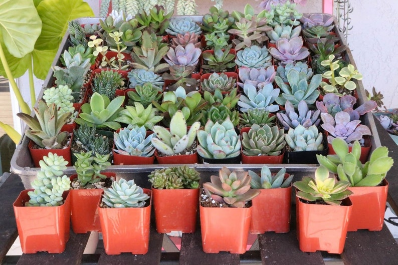 Assorted Succulent in 2 container  Upgraded Containers PLASTIC