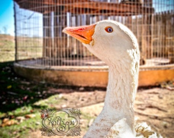Goose Eye - Fine Art Photograph