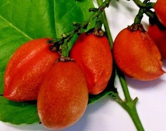 Lot of 15 Rollinia Deliciosa Biriba Seeds Tropical Fruit FROM HAWAII