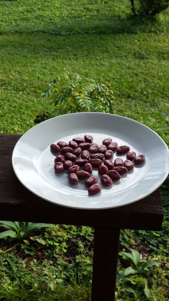 Varied Lot of 10//20//30//50//100 Cacao Theobroma Cocoa Seeds Beans FROM HAWAII