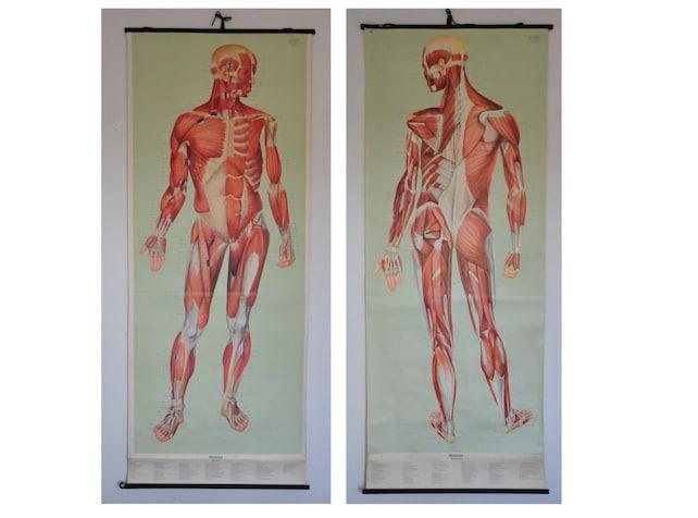 PAIR: Life Size Authentic XL Mid Century Human Anatomy   Etsy