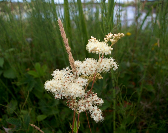 Meadowsweet, Filipendula ulmaria, Cordial, Connemara Wild Flowers, White, Green, Limited Edition Photo