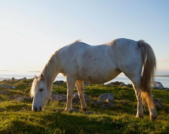 White Connemara Pony Eating Grass, Limited Edition Canvas Print