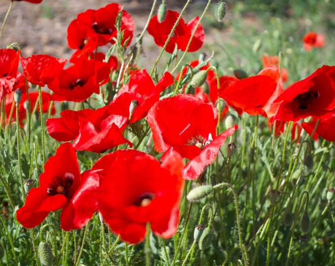 Spanish Poppy, Red Flowers, Green, Spain, España Travel, Limited Edition Photo