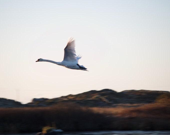 Flying Swan, Limited Edition Print, Connemara, Wildlife, Ireland
