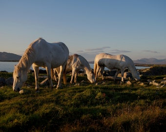 Three Connemara Ponies, Limited Edition Print On Canvas, Ready To Hang