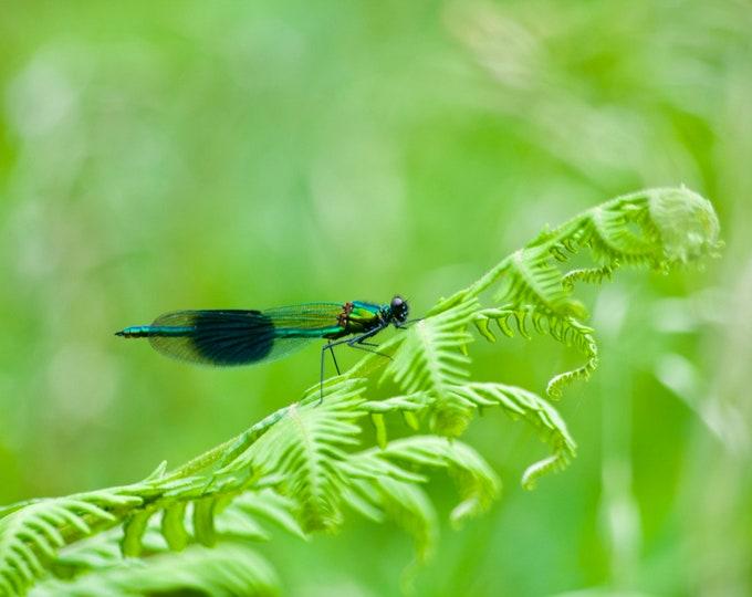 Damselfly, Green Fern, Green Landscape Limited Edition Photo