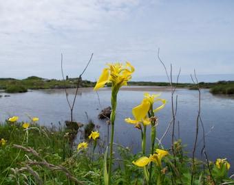 Feileastram, Wild Iris, Iris pseudacorus, Lac Du Connemara Irlande, Stone Ruins, Limited Edition Photo