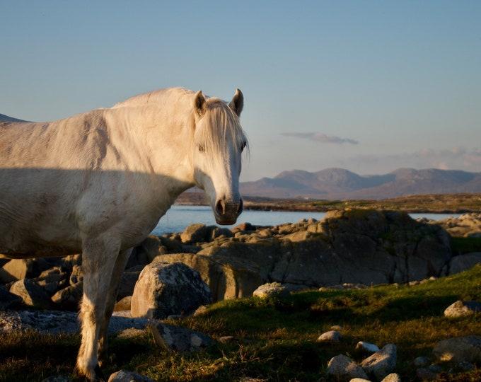 White Connemara Pony Ready to Hang On Wall Canvas Print