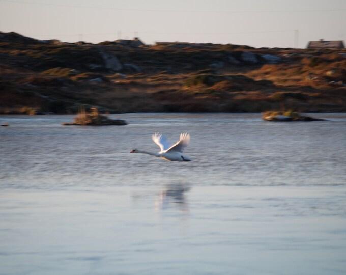 Swan Over Ice, Limited Edition Photo, Connemara, Wildlife, Birds, Ireland