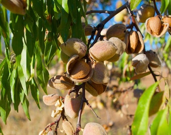 Almond Tree, Almonds, Almond Oil, Green Leaves, Spain, Limited Edition Travel Photo