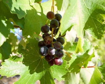 Red Grapes Of Spain, Vino Tinto, Rioja, Wine, Green Leaves, Limited Edition Travel photo