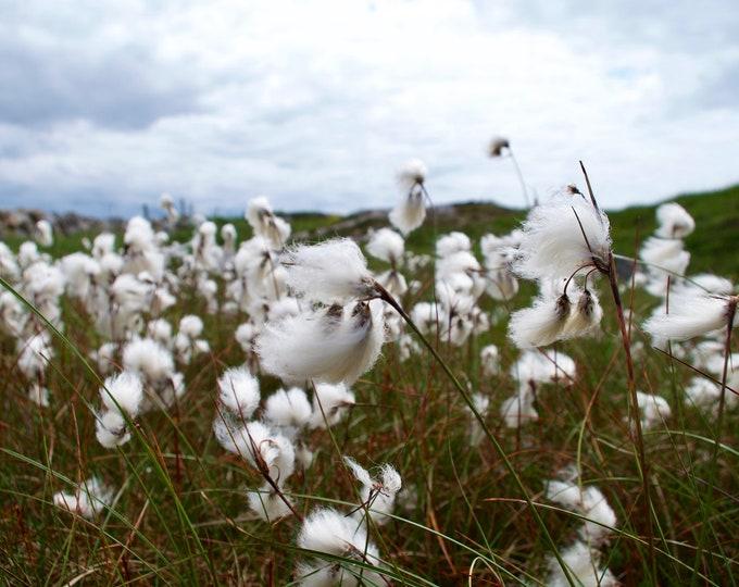 Bog Cotton, Ceannabhán, Cottongrass, Eriophorum angustifolium, Connemara Wild Flowers, Landscape, Limited Edition Photograph.