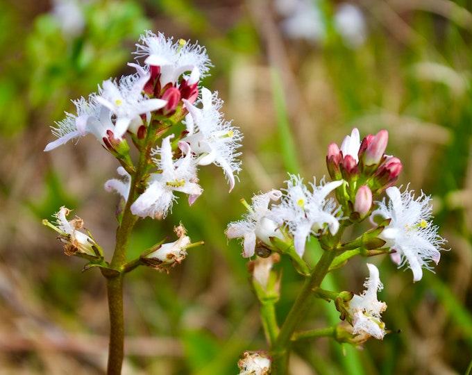 Bog-Bean Flower, Menyanthes Trifoliata, White Flower, Wild Connemara Irish Flowers, Limited Edition Photos