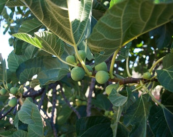 Fig Tree, Fresh Figs, Fruit, Foraging, Higos de España, Limited edition Canvas Prints, Ready to hang on wall