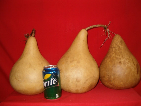 "3 -  under 5""  Martin Gourds ( Dried & Cleaned)"