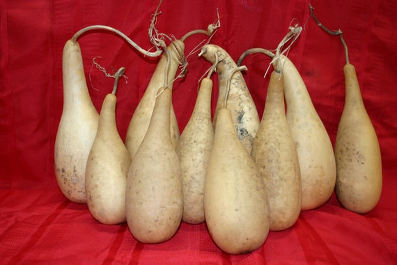10 small to medium penguin/powder horn  Gourds ( Dried & Cleaned)
