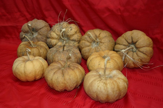 Group of 10 Cheese  Gourds ( Dried & Cleaned)