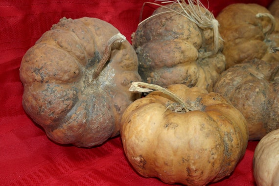 Group of 5 Cheese  Gourds ( Dried & Cleaned)