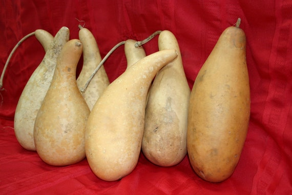 8  medium penguin/powder horn  Gourds ( Dried & Cleaned)