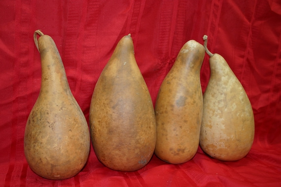 4  large  penguin/powder horn  Gourds ( Dried & Cleaned)