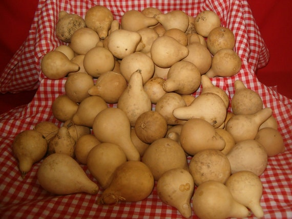 100 Quality Mini Pear Gourds ( Dried & Cleaned)