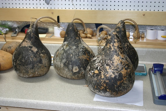 10 -  7 inch  Unwashed  Martin Gourds