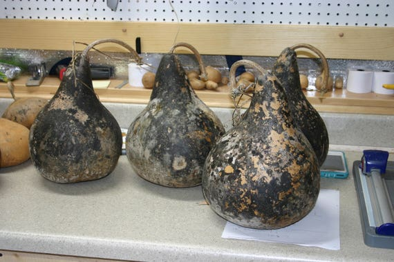 3 -  7 inch  Unwashed  Martin Gourds