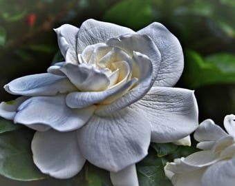 Gardenia, Flower, Floral, Gardenia Photograph, Nature Photography, White Flower, Wall Art, Fine Art, Home Decor