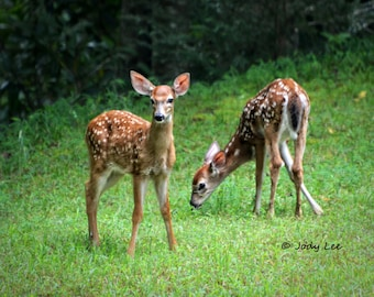 Twin Fawns ,Wildlife, Deer Photography, Baby Deer, Spotted fawn, Nature Photography, Wall Art, Animals