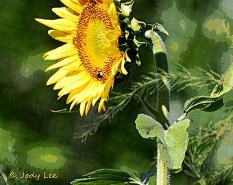 Sunflower, Photography, Nature, Wall Art, Sunflower Photograph, Floral, Garden,Home Decor,Yellow green