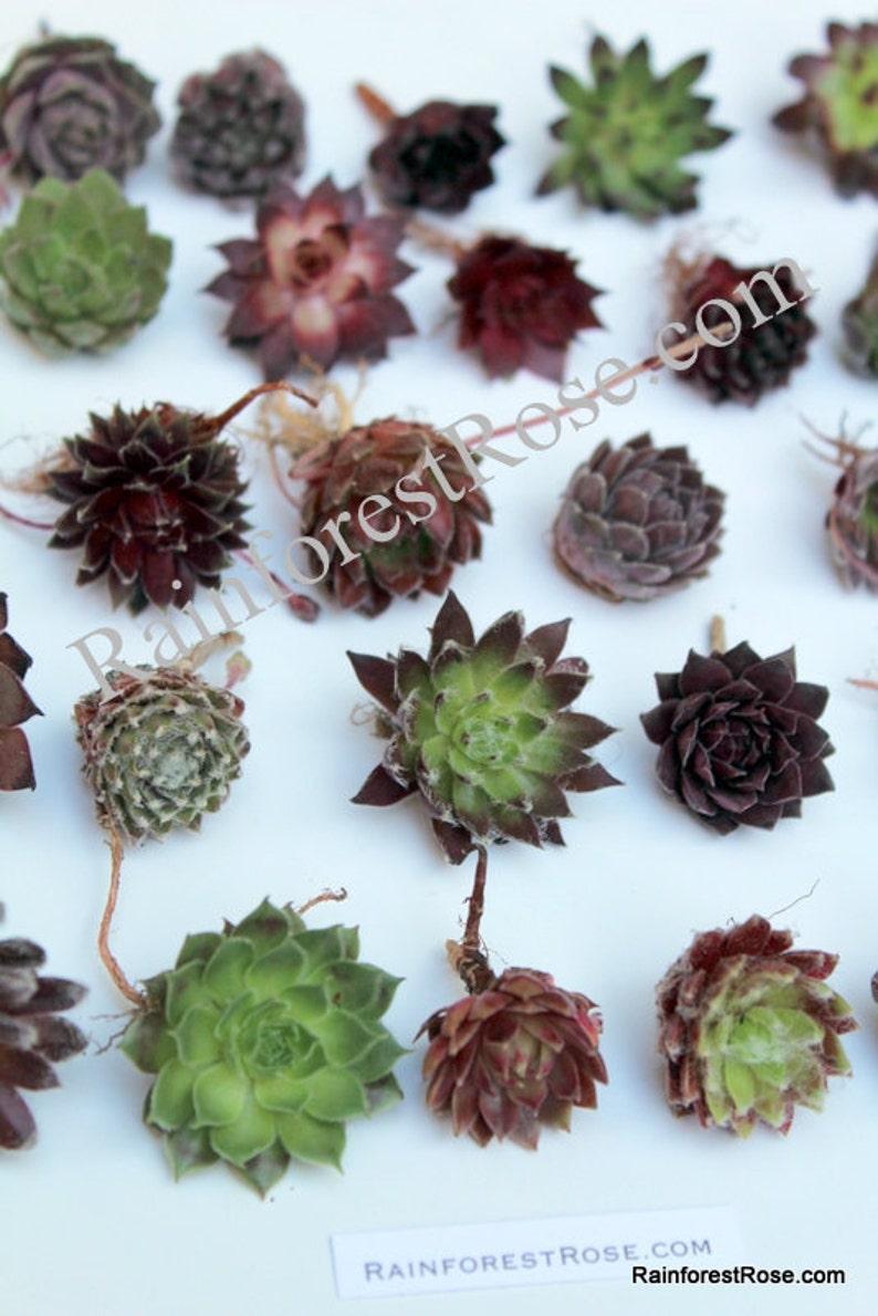 LOT 50 Sempervivums plants Assorted about 50 varieties Rosette image 0