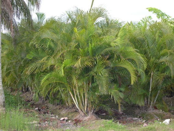 areca palm tree live trees fast grow indoor outdoor plants air etsy