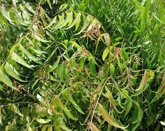 Fresh Neem Leaves Leaf U.S.A. All Natural Hand Picked,Azadirachta Indica Nimtree
