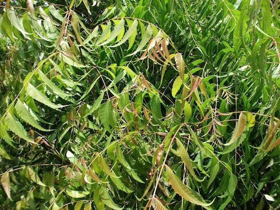 4 OZ de Neem fraîche feuilles feuille États-Unis d'Amérique. Cueillies, Azadirachta Indica Nimtree à la main tout au naturel