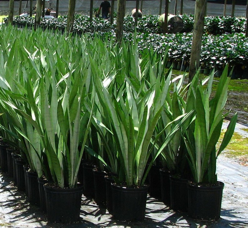 Purifies the Air Easy Care Snake Plant Sansevieria Air Purifying Mother in Law/'s Tongue Indoor Outdoor Increases Oxygen in your home