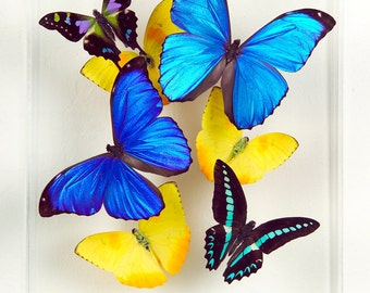 """8"""" x 10"""" Real Exotic Butterfly Display."""
