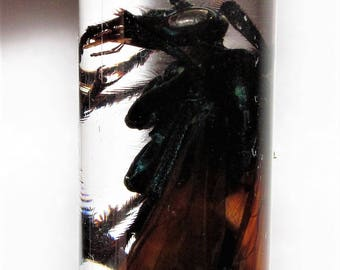 Real Arizona Pepsis Tarantula Hawk Wasp Female Preserved in Glass Vial Wet Specimen Taxidermy Entomology 2.5in vial