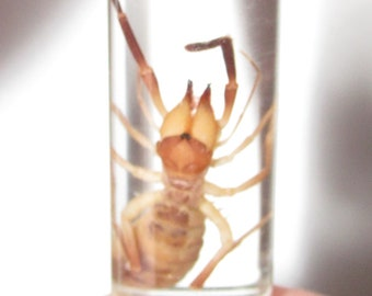 REAL Arizona Sun Spider Camel Spider Solpugid Preserved in Glass Vial Wet Specimen Taxidermy Entomology 2in vial