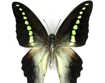 One Real butterfly green jelly bean Graphium codrus