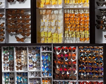 Mounted Wings Spread Assorted butterflies moths Collection Wholesale Mix Lot Choose 1, 5, 10, or 50 pieces