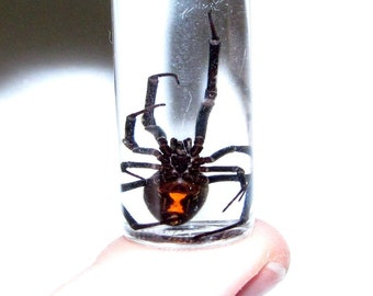 Real Arizona Southern Black Widow Female Spider Preserved in Glass Vial Wet Specimen Taxidermy Entomology 2in vial