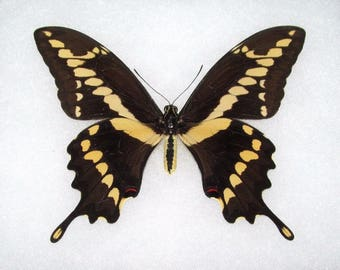 WHOLESALE lot of 10-  Real Butterfly Yellow Arizona Giant Swallowtail Papilio Cresphontes