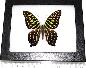 Real framed butterfly green Graphium agamemnon Malaysia