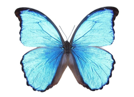 Morpho Didius One Real Butterfly Blue Peru Etsy