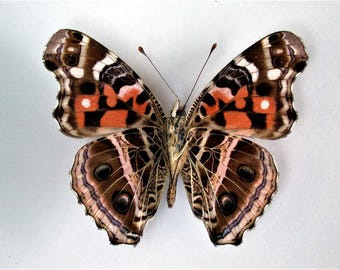 One Real Butterfly Painted Lady Vanessa myrinna verso