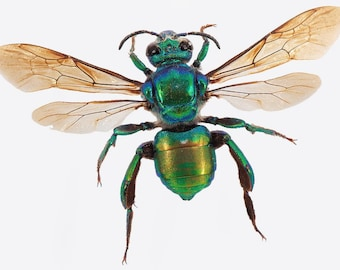 WHOLESALE lot of 10- Real green Euglossini sp Orchid bee wasp Central America unmounted wings closed