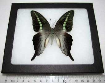Real framed green jelly bean papilio codrus framed butterfly insect
